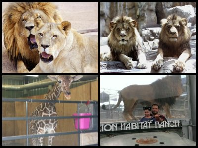 las-vegas-lion-habitat-ranch